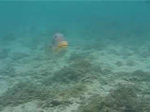 Picasso Triggerfish Attack