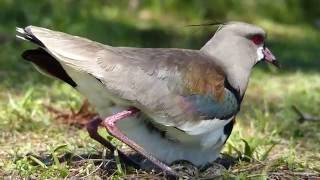 fauna brasileira AVES QUERO-QUERO CASAL curitibana silvestres world pampa selvagem