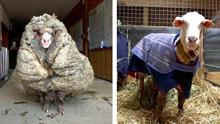 Overgrown Sheep Gets 70 Pounds of Wool Sheared Off