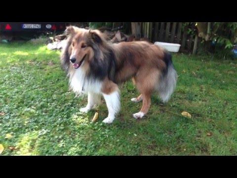 Rassebeschreibung Shetland Sheepdog (Sheltie)