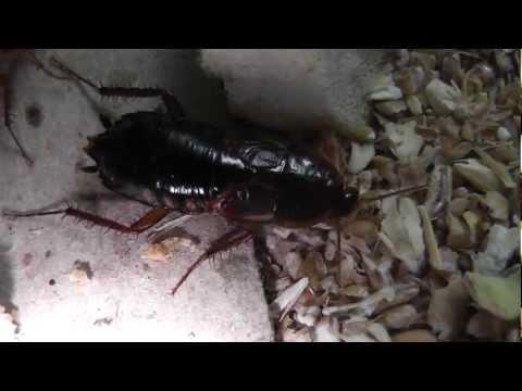 Туркменистанские тараканы