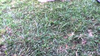 Real Life - Brown Sugar Cane Spider in Hawaii | The Brown T