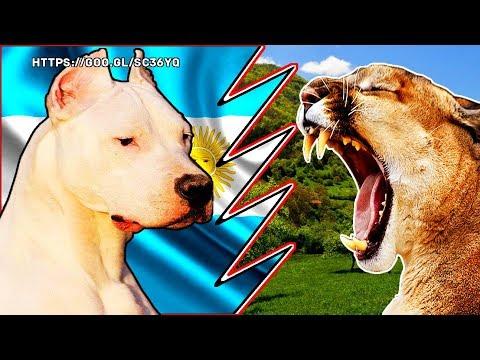 Dogo argentino vs Puma - Pelea hipotética - ¿Quien gana?