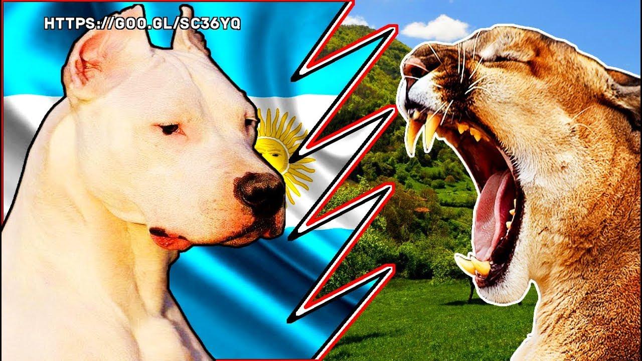DOGO ARGENTINO vs PUMA || PERRO PODEROSO vs BESTIA SALVAJE ...