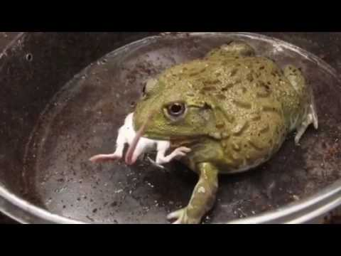 Huge Frog Eats Live Mouse Gone Wrong Youtube