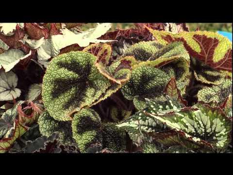 Råd om planter: Begonia rex