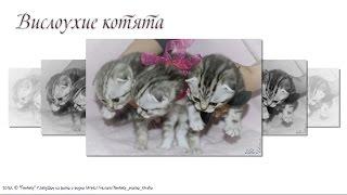 Вислоухие котята Слайд Шоу 26 фото