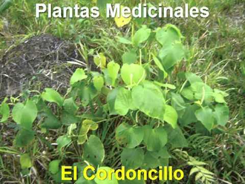 Plantas Medicinales - Cordoncillo - YouTube