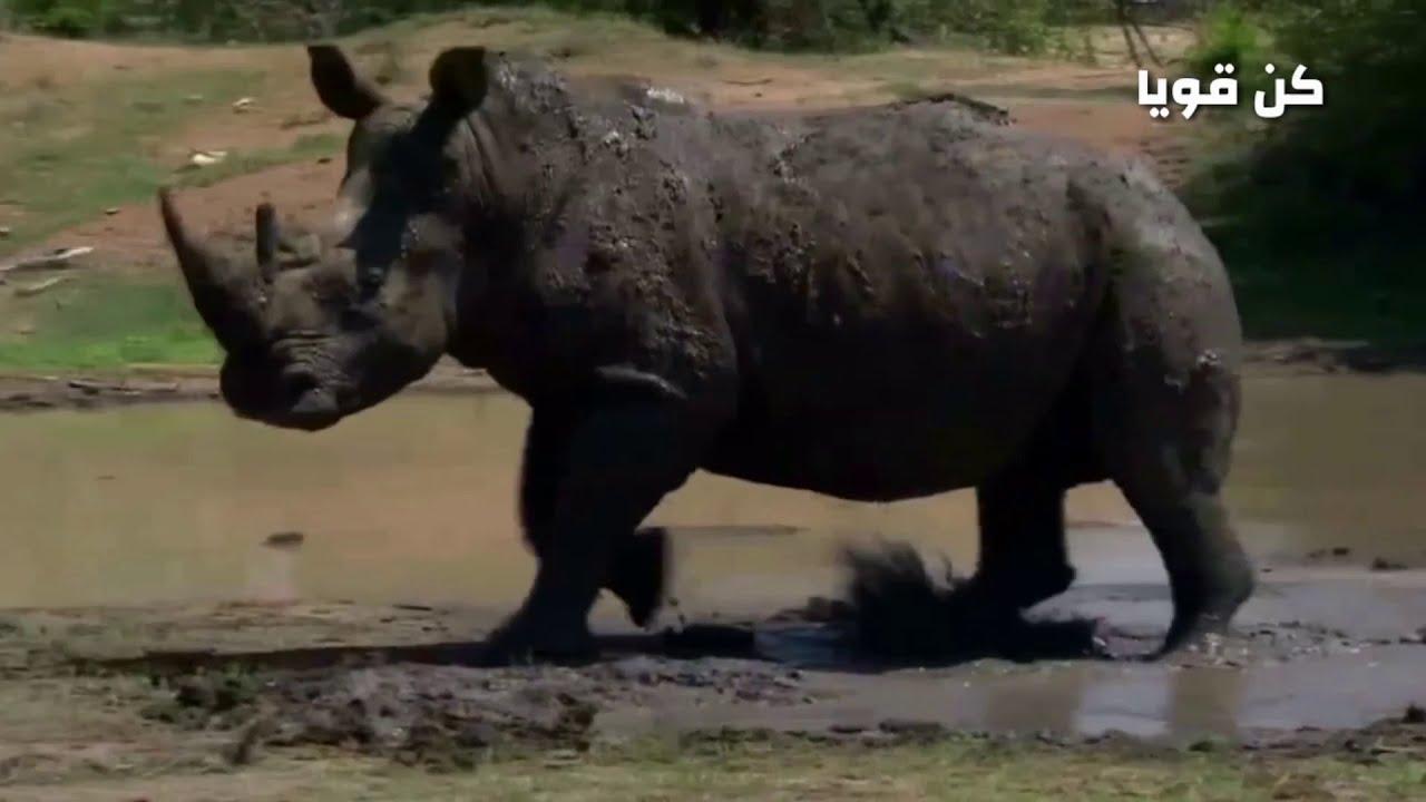 من سيفوز في المعركة؟ ؟ الأسود و وحيد القرن وصراع البقاء /عالم الحيوانات المفترسة