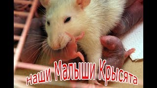 Мои маленькие любимцы -Крысята 1 неделя My little Pets -Rats 1 week