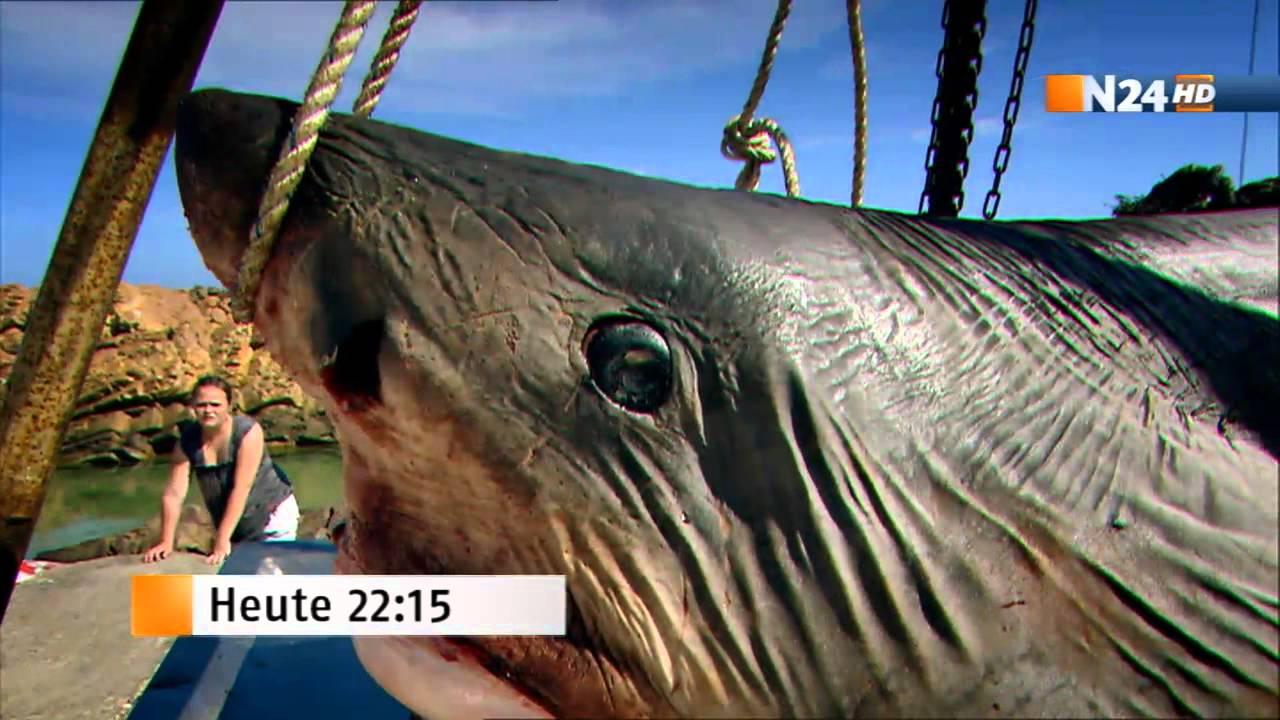 Größter Weißer Hai Der Welt Gefangen