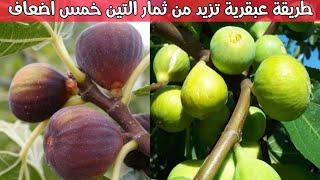 طريقة عبقرية تجعل شجرة التين تزيد الثمار إلى خمس اضعاف How to increase the fruits of a fig tree