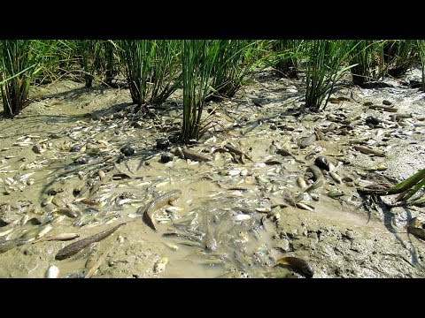 Believe This Fishing ? Man Catching A Lot  OF Fish In Dry Season And Save Baby Fish
