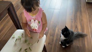 猫じゃらしのお裾分けを毎日貰う猫 ラガマフィンA cat that receives a green foxtail every day. Ragamuffin.