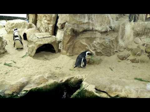 Penguins building nest, Two Oceans Aquarium, V&A Waterfront Cape Town