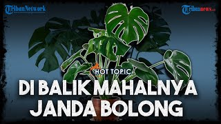 Hot Topic Di Balik Harga Tanaman Janda Bolong Atau Monstera Yang Melejit Hingga Puluhan Juta Rupiah Youtube