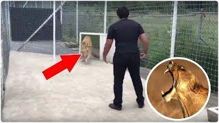 El emotivo momento en que esta leona se reencuentra con su 'padre'
