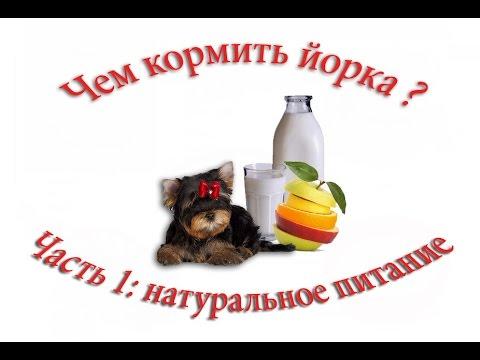 Чем кормить йоркширского терьера? Часть 1: натуральное питание щенка