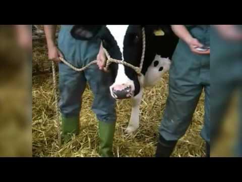 Cattle restraint methods