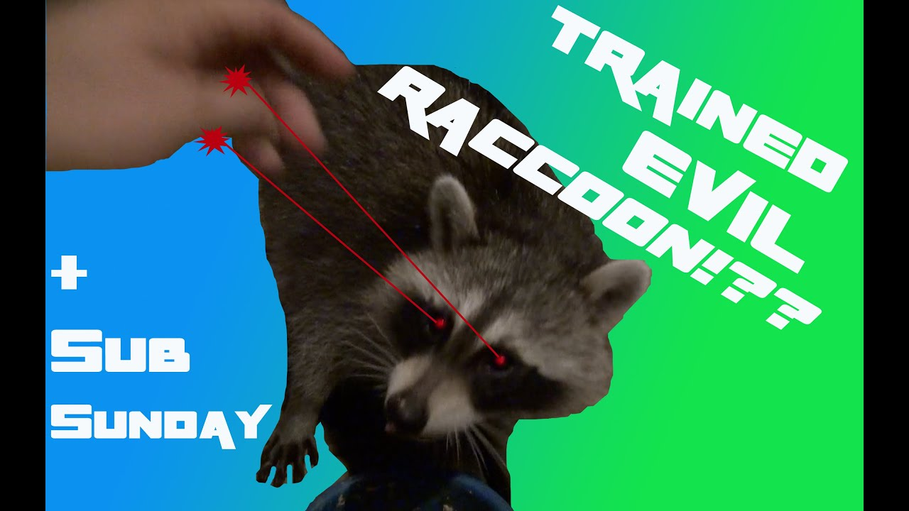 Trained evil raccoon robs world youtube robs world youtube jeuxipadfo Image collections