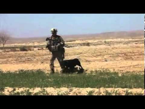 Marines Search for Enemy Weapons Caches - 1st Light Armored Reconnaissance Battalion