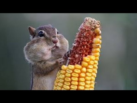 TRY NOT TO LAUGH CHALLENGE  - Amusing SQUIRREL and RACCOON compilation
