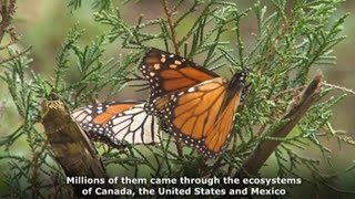 The invaluable journey of monarch butterflies to Mexico