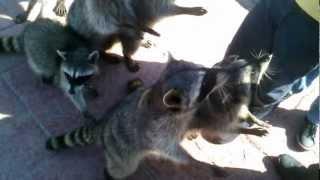 Dandole de comer a los mapaches en las escolleras de Playa Miramar Ciudad Madero Tamaulipas