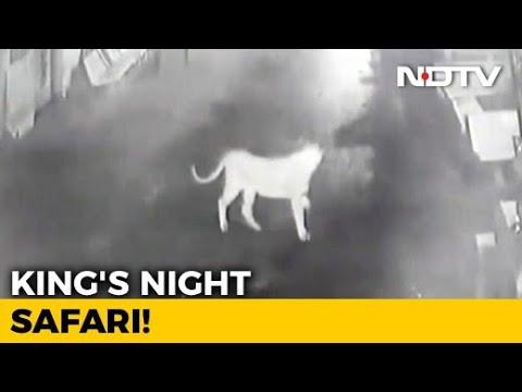 Gulp. CCTV Shows Evening Stroll Of Gir Lions Through Village