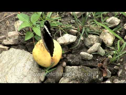 Euthalia phemius butterfly feeding on a fallen ripe guava