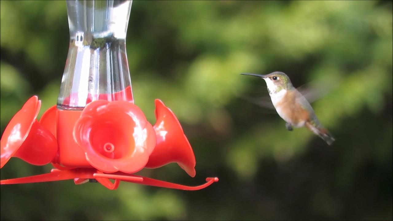 Rufous Hummingbirds Long Island New York