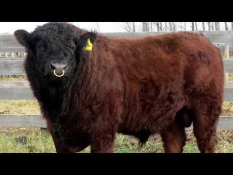 Galloway Beef Cattle | Adaptive Foragers