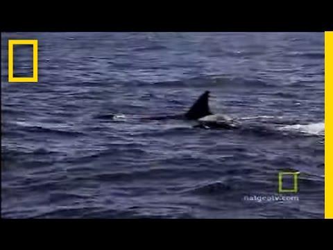 Animals attack killer whale vs sea lion