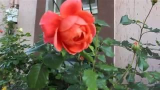 роза Саммер Сонг и Кристофер Марлоу