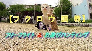 フクロウ調教動画です。フリーフライトとお遊びハンティングの様子をご...