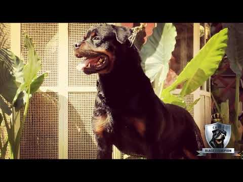 Canil Black Champion - BAX