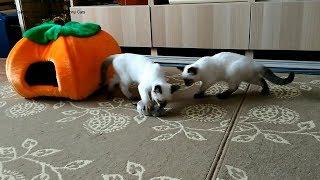 Как тайские котята Монте Кристо и Миледи расправлялись с игрушечной крыской! Тайские кошки   это чуд