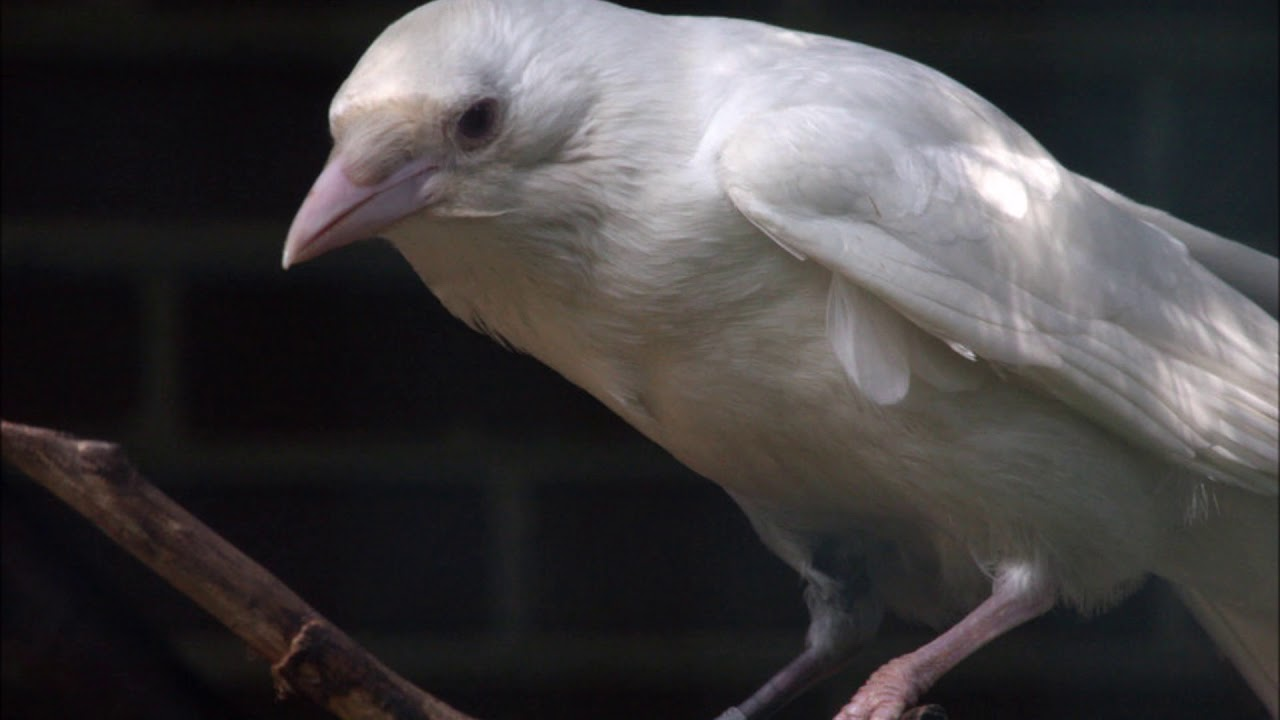 interesting-facts-unique-animals-white-crow