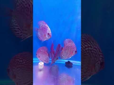 Beautiful Discus Fish