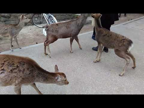 Japan Grad trip (With Mao and Le Mao) Day 6: Nara - The Deer city