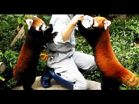 Pretty red panda of the Fukuoka-shi Zoo, Japan 可愛いレッサーパンダ 福岡市動物園