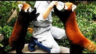 Pretty red panda of the Fukuoka-shi Zoo, Japan �愛�レッサーパンダ �岡市動物園