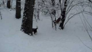 Cavalier King Charles Spaniels Have Fun In The Snow