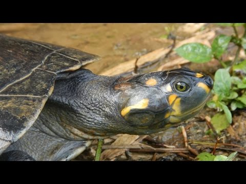 """Las Charapas"" - The Endangered Yellow Spotted River Turtle in Ecuador"