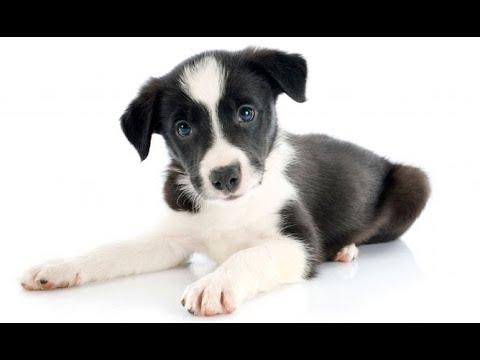 Cachorro De Border Collie Con Piel Sensible Hogarmanía