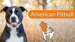 American Pit Bull Terrier [2019] Rasse, Aussehen & Charakter