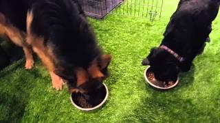German Shepherd Vs Black Lab Puppy Eating Breakfast