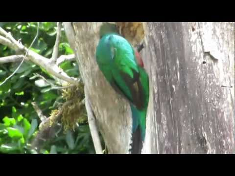 Quetzal Birds building a nest, Monteverde, Costa Rica