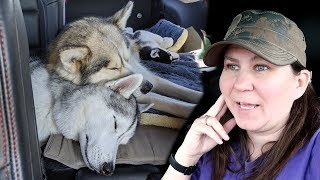 Husky Snuggles on the Road Trip | Travel Vlog