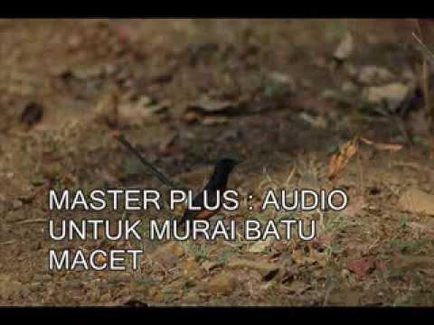 MASTER PLUS : AUDIO Untuk Mengatasi MURAI BATU MACET